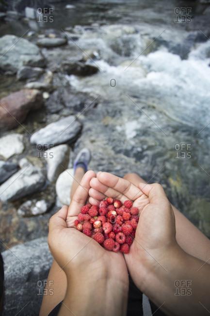 Hands holding freshly picked raspberries