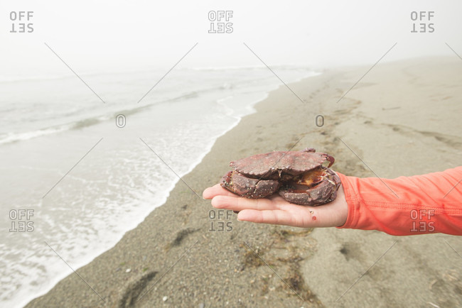Hiker holding dead red crab (Cancer productus) found at beach, West Coast Trail, British Columbia, Canada