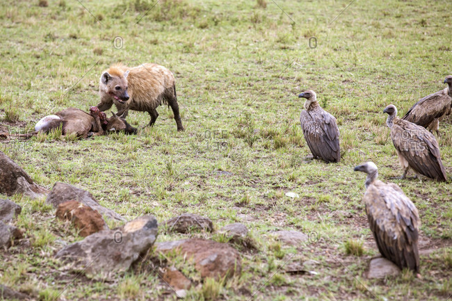 Hyena guarding kill from vultures, Masai Mara National Reserve, Kenya