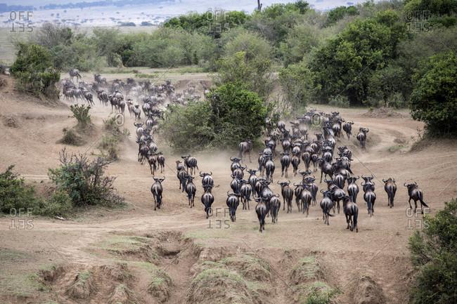 Herd of wildebeests, Masai Mara National Reserve, Kenya