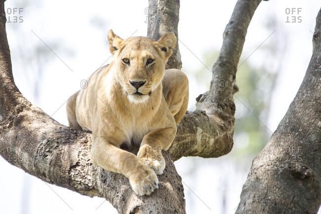 Lioness (Panthera leo) on tree, Masai Mara National Reserve, Kenya