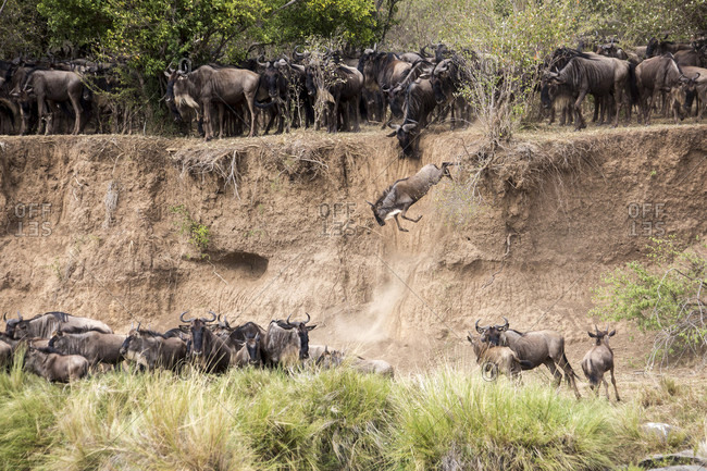 Wildebeest jumping down from embankment, Masai Mara National Reserve, Kenya