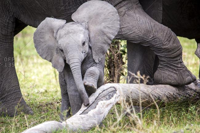 African elephant (Loxodonta africana) calf, Masai Mara National Reserve, Kenya