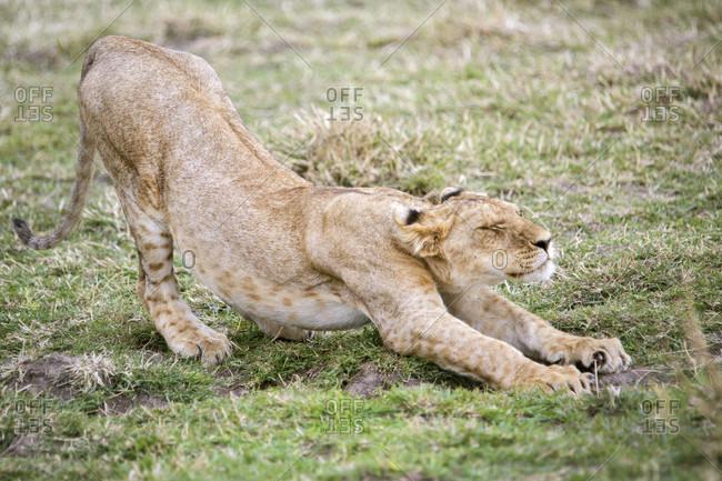Young lion (Panthera leo) stretching, Masai Mara National Reserve, Kenya