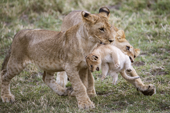 Two young lions (Panthera leo) playing with younger cub, Masai Mara National Reserve, Kenya