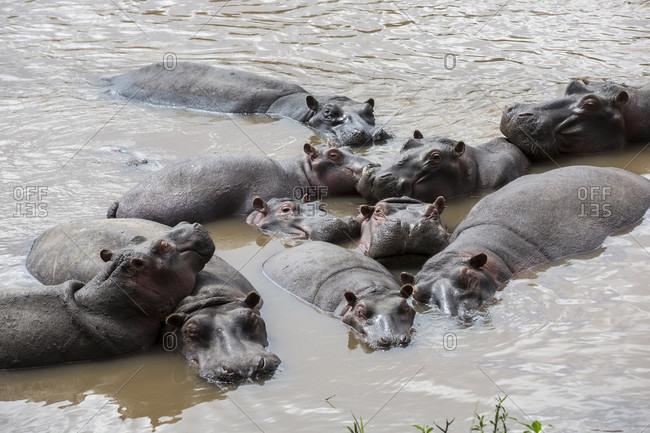 Group of hippopotamuses (Hippopotamus amphibius) swimming, Masai Mara National Reserve, Kenya