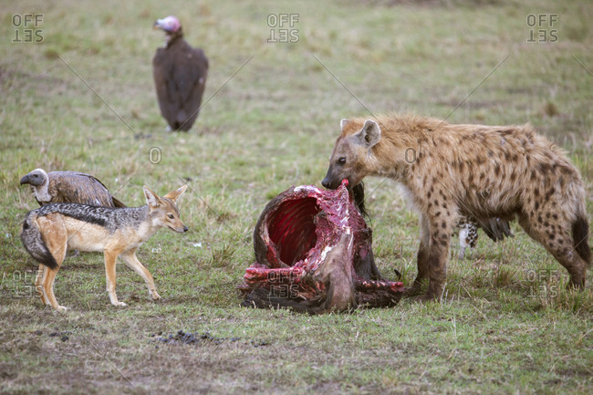 Hyena feeding on prey, Masai Mara National Reserve, Kenya
