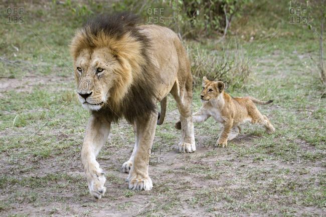 Male lion (Panthera leo) and cub, Masai Mara National Reserve, Kenya