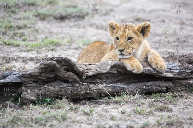 Lion (Panthera leo) cub, Masai Mara National Reserve, Kenya