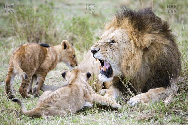 Male lion (Panthera leo) roaring at cubs, Masai Mara National Reserve, Kenya