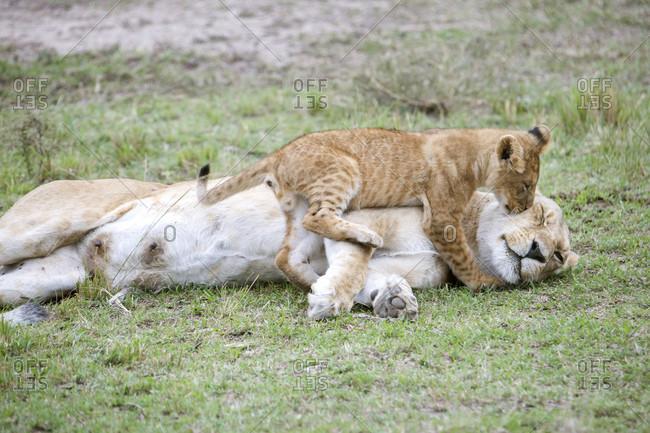 Lion (Panthera leo) cub playing with female adult, Masai Mara National Reserve, Kenya