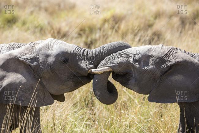 Two African elephants (Loxodonta africana), Masai Mara National Reserve, Kenya