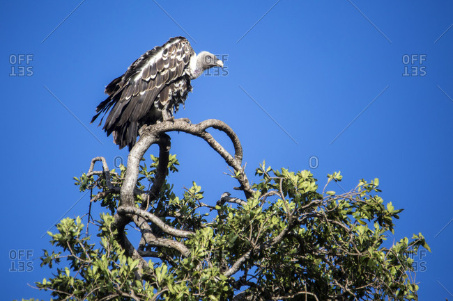 Vulture perching on tree, Masai Mara National Reserve, Kenya