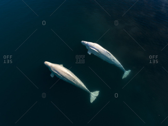 Two beluga whales swimming side by side, Svalbard