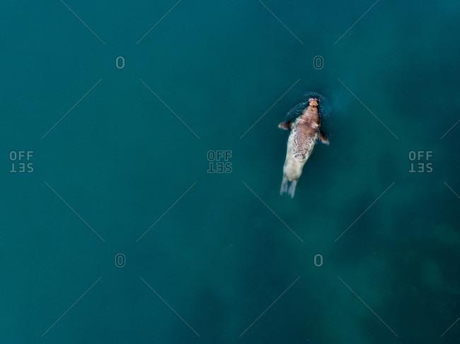 Walrus (Odobenus rosmarus) swimming in Arctic Ocean, Ny-Alesund, Spitsbergen, Svalbard and Jan Mayen, Norway