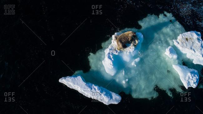 Walrus (Odobenus rosmarus) on piece of ice, Spitsbergen, Svalbard and Jan Mayen, Norway