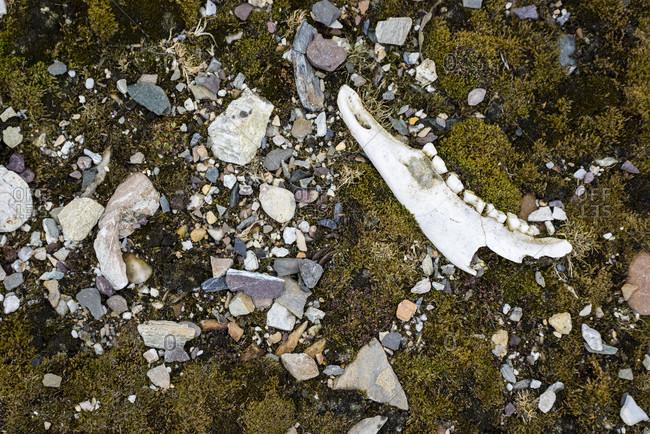 Remnant of reindeer's jaw (Rangifer tarandus platyrhynchus) left in tundra, Forlandsundet, Spitsbergen, Svalbard and Jan Mayen, Norway