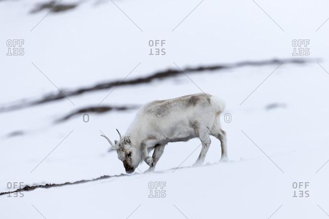 Svalbard reindeer (Rangifer tarandus platyrhynchus) grazing, Kongsfjorden, Spitsbergen, Svalbard and Jan Mayen, Norway