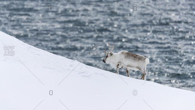 Svalbard reindeer (Rangifer tarandus platyrhynchus), Kongsfjorden, Spitsbergen, Svalbard and Jan Mayen, Norway