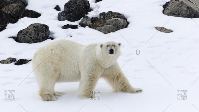 Male polar bear (Ursus maritimus), Raudfjorden, Spitsbergen, Svalbard and Jan Mayen, Norway
