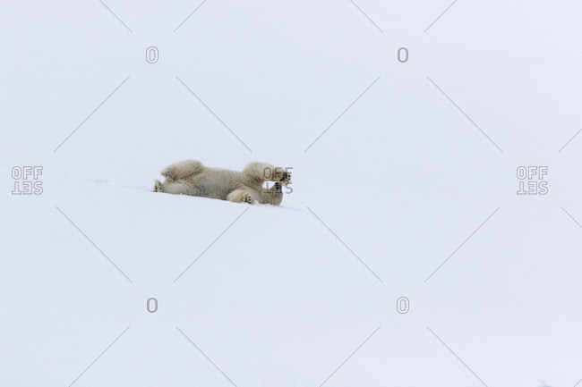 Polar bear (Ursus maritimus) lying in snow, Spitsbergen, Svalbard and Jan Mayen, Norway