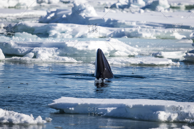 Minke whale (Balaenoptera acutorostrata), Arctic Ocean, Spitsbergen, Svalbard and Jan Mayen, Norway