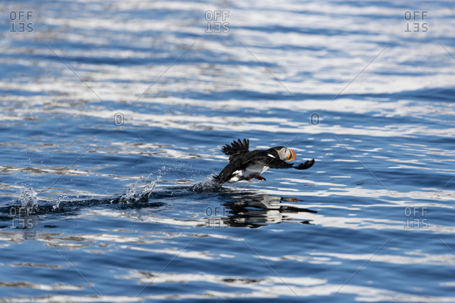 Atlantic puffin (Fratercula arctica), Spitsbergen, Svalbard and Jan Mayen, Norway