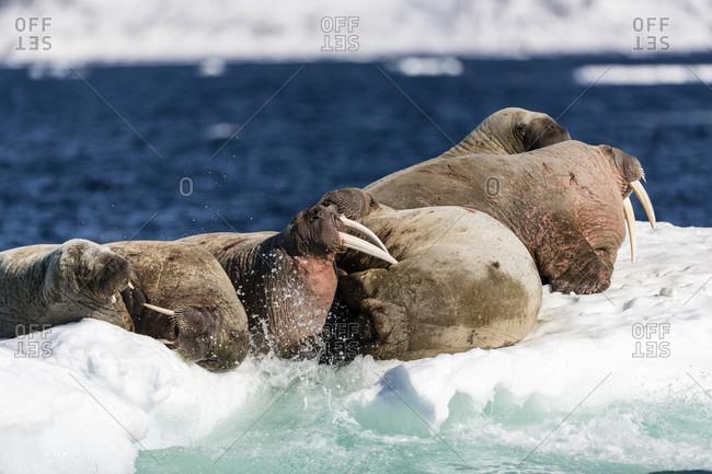 Walruses (odobenus rosmarus) on pack ice, Arctic Ocean, Spitsbergen, Svalbard and Jan Mayen, Norway