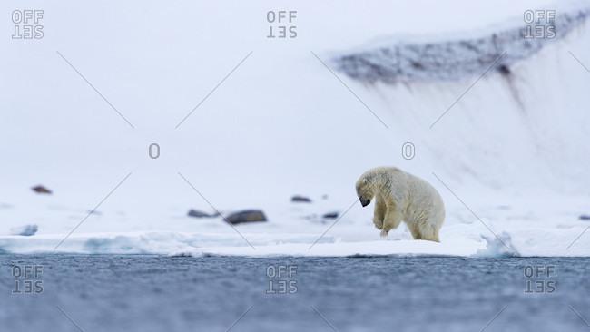 Polar bear (Ursus maritimus) on coastline of Arctic Ocean, Spitsbergen, Svalbard and Jan Mayen, Norway