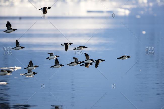 Flock of little auks (Alle alle) flying above Arctic Ocean, Raudfjorden, Spitsbergen, Svalbard and Jan Mayen, Norway
