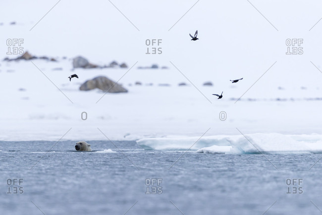 Birds flying above polar bear (Ursus maritimus) swimming in Arctic Ocean, Spitsbergen, Svalbard and Jan Mayen, Norway