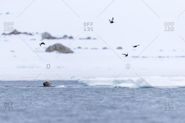Birds flying above polar bear (Ursus maritimus) swimming in Arctic Ocean, Spitsbergen, Svalbard and Jan Mayen, Norway