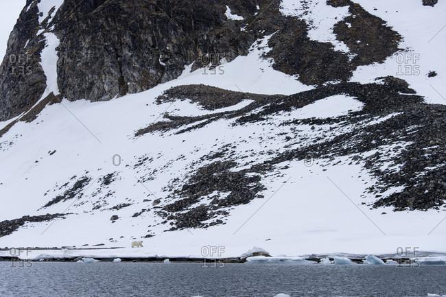 Polar bear (Ursus maritimus) in snowy and rocky Arctic landscape, Spitsbergen, Svalbard and Jan Mayen, Norway