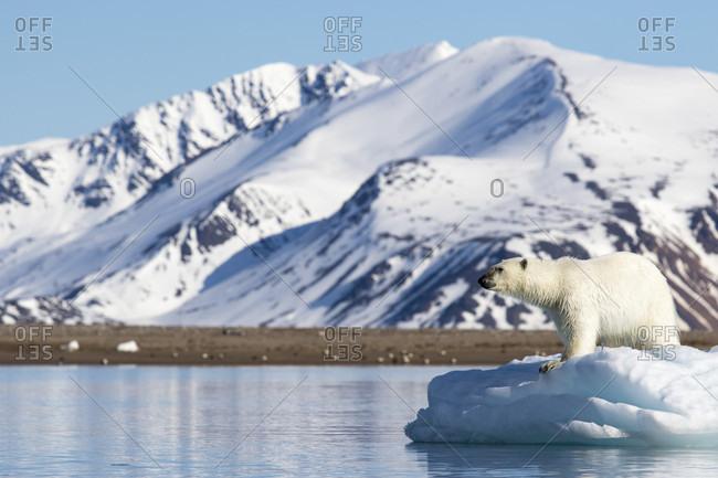 Polar bear (Ursus maritimus) on pack ice, Spitsbergen, Svalbard and Jan Mayen, Norway