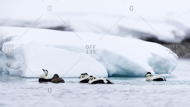 Group of common eiders (Somateria mollissima) swimming in Arctic Ocean, Spitsbergen, Svalbard and Jan Mayen, Norway