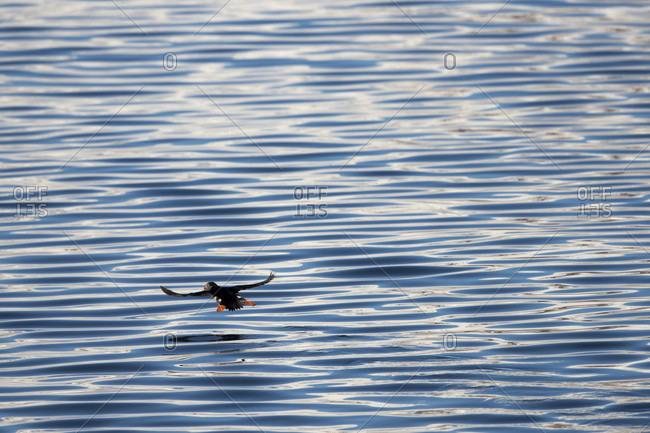Atlantic puffin (Fratercula arctica) flying above Arctic Ocean, Spitsbergen, Svalbard and Jan Mayen,