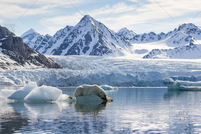 Polar bear (Ursus maritimus) on piece of ice, Krossfjorden, Svalbard and Jan Mayen, Norway
