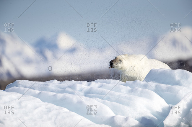 Polar bear (Ursus maritimus), Krossfjorden, Svalbard and Jan Mayen, Norway