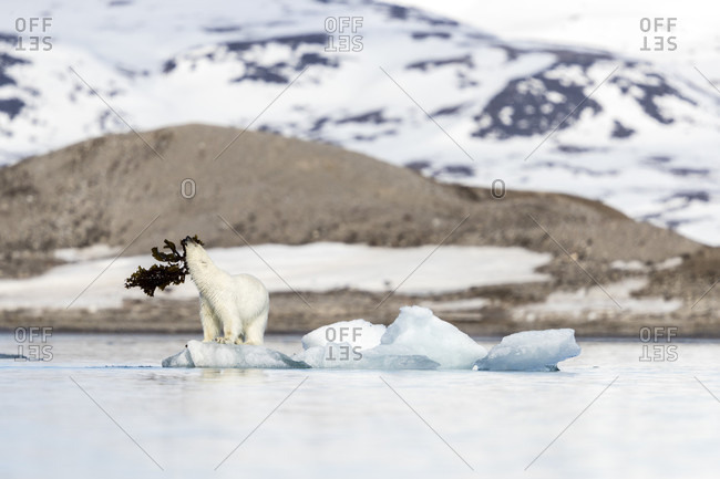 Polar bear (Ursus maritimus) playing with seaweed on pack ice, Krossfjorden, Svalbard and Jan Mayen, Norway