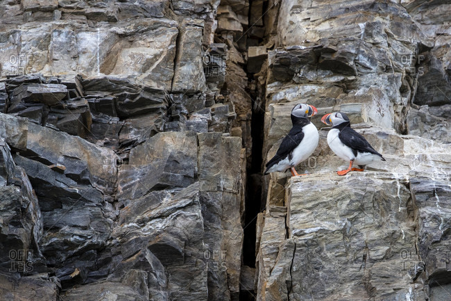 Two Atlantic puffins (Fratercula arctica) perching on side of cliff, Spitsbergen, Svalbard and Jan Mayen, Norway