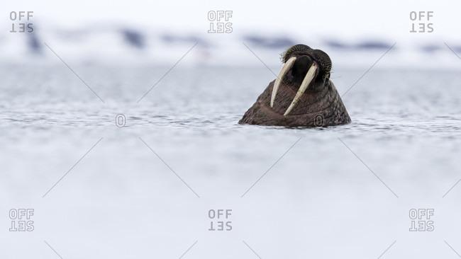 Walrus (Odobenus rosmarus) swimming in Arctic Ocean, Spitsbergen, Svalbard and Jan Mayen, Norway
