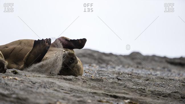 Walrus (Odobenus rosmarus) rolling in sand, Spitsbergen, Svalbard and Jan Mayen, Norway