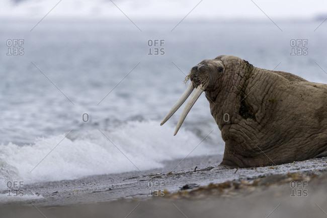 Walrus (Odobenus rosmarus) at beach, Spitsbergen, Svalbard and Jan Mayen, Norway