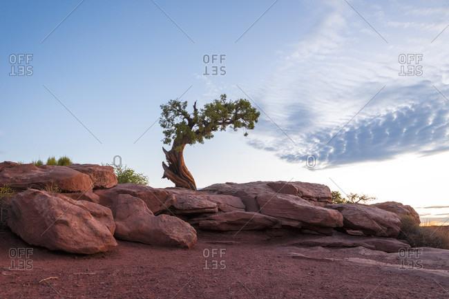 Lone tree growing behind boulders, Utah, USA