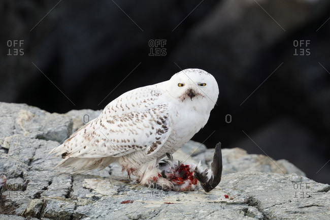 Snowy owl (Bubo scandiacus) with prey at Sachuest Point National Wildlife Refuge, Rhode Island, USA