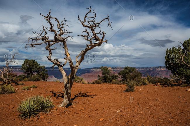 Dead tree at Grand Canyon, Arizona, USA