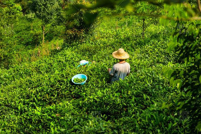 Workers picking tea on Tea Mountain in Pu'er, Yunnan, China