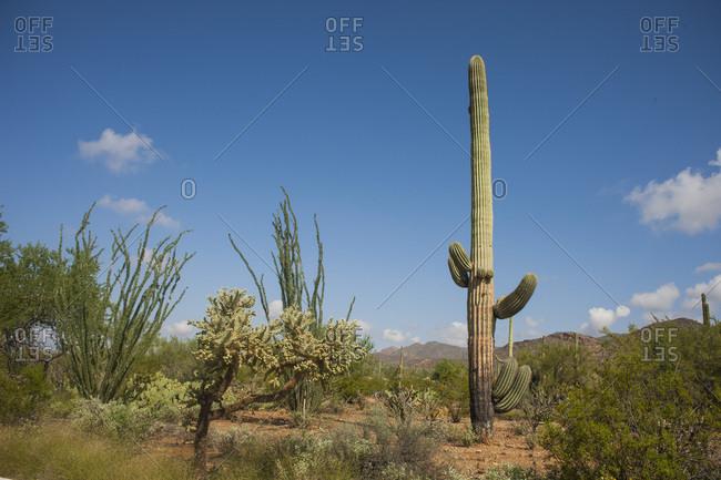 Tall cactus in desert - Offset