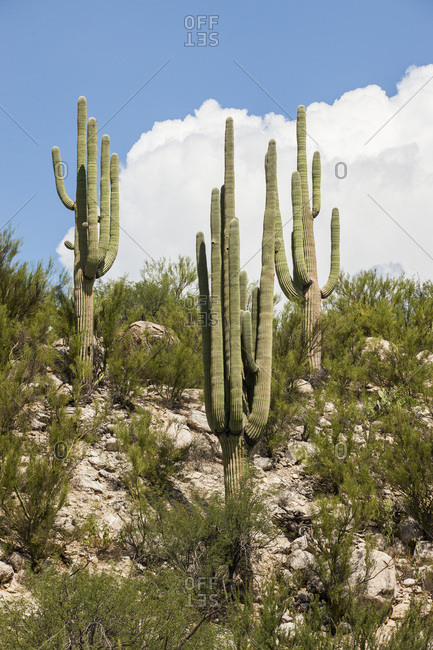 Hillside cacti in the desert