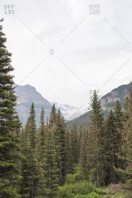 Dense forest in Glacier National Park